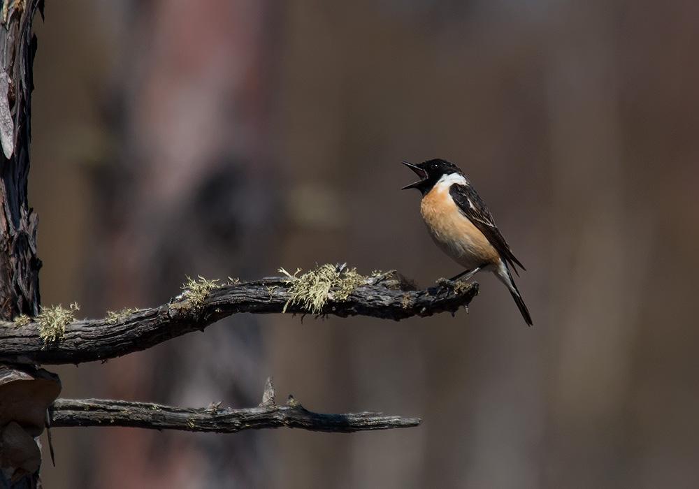 птицы амурской области фото и название купалку