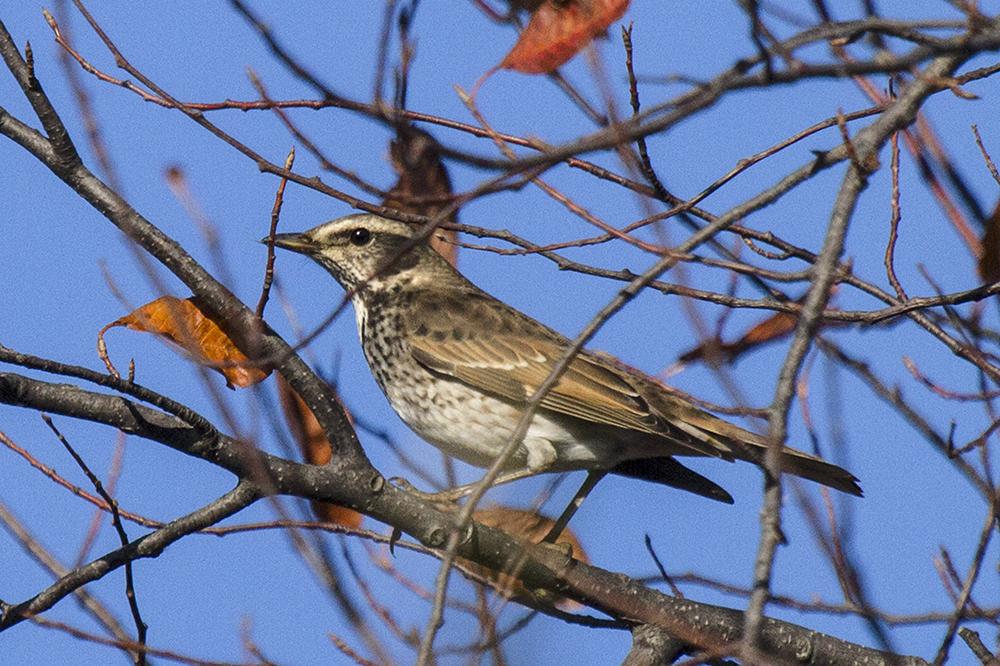того, птицы амурской области фото и название что подходит