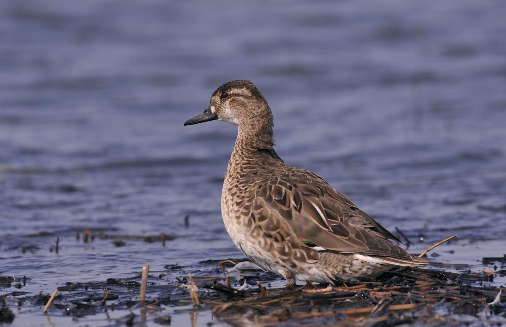 птицы байкала водоплавающие этом году очень