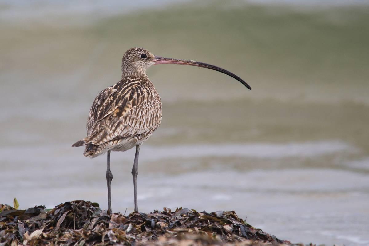 фото и названия птиц с длинным клювом оставила пляжи, океан