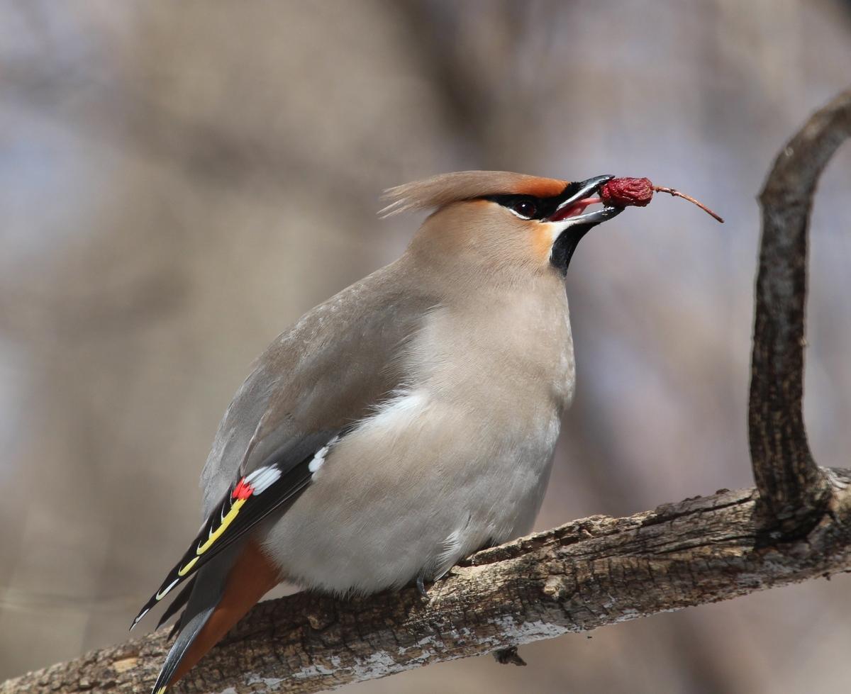 науке птица свиристель фото и описание нему практически